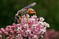 Great Golden Digger Wasp (Sphex ichneumoneus) drinking nectar of Swamp Milkweed (Asclepias incarnata), Franklin County, Ohio, USA.