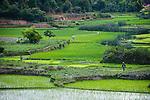 Rice paddies and cultivation. Masoala Peninsula, North East Madagascar.