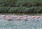 Chilean flamingos, Argentina