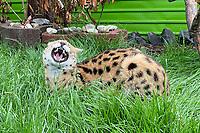 """Serval """"Alvin Flame"""" lebt jetzt im Gehege auf der Keller-Ranch und ist eine neue Besucherattraktion - Weiterstadt 07.06.2021: Keller-Ranch"""