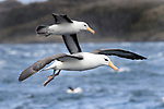 A pair of black-browed albatross (Thalassarche melanophris) in flight. Straits of Magellan, Patagonia, Chile