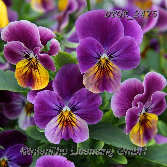 Gisela, FLOWERS, BLUMEN, FLORES, photos+++++,DTGK2475,#f#, EVERYDAY