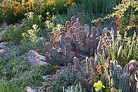 Opuntia 'Chocolate Bunny' cactus in David Salman New Mexico xeric rock garden in morning light