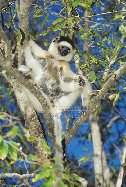 Verreaux's Sifaka (Propithecus verreauxi), adult in tree, Madagascar, Africa