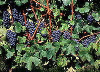 MERLOT GRAPES ripening on the VINE - MONTEREY COUNTY, CALIFORNIA