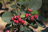 Aitichisons Zwergmispel, Zwerg-Mispel, Zwerg - Mispel, Früchte, Cotoneaster aitchisenii