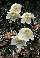 Christrose, Christ-Rose, Schwarze Nieswurz, Helleborus niger, Christmas Rose, Hellebore