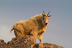 A 'billy' mountain goat at sunrise near the summit of Mt Evans, a paved road nearly reaches its 14,000' summit.<br />
