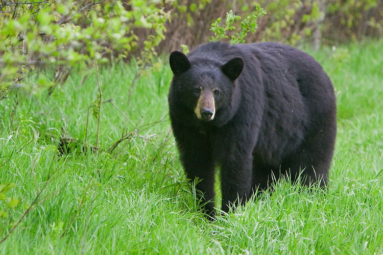 Black Bear standing in the grass on the edge of a forest
