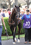 Pluck in the paddock prior to running in The Transylvania (grIII) at Keeneland Race Course. Lexington, KY. 04.08.2011