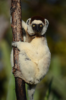 Verreaux's Sifaka (Propithecus verreauxi) Lemur of the Spiny Forest of Berenti Madagascar.