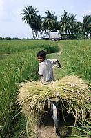 CAMBODIA Kampot, rice farming with SRI method System of rice intensification, boy transport rice on bicycle in paddy field / KAMBODSCHA Kampot, Reisanbau nach SRI System zur Reisintensivierung, Junge transportiert Reisbueschel auf Fahrrad durch ein Reisfeld