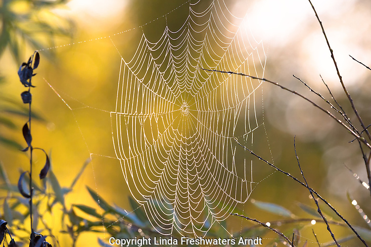 Dew-covered orb spider web
