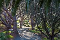 Gravel path through grove of Pinus pinea (Italian stone pine, umbrella pine, parasol pine) at Leaning Pine Arboretum, California garden