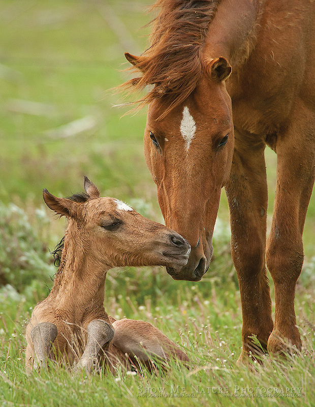 """Boxed set of 10 Newborn Wild Horse foal with Mom note cards (folded, blank inside), 10 cards of the pictured image, and 10 blank, white envelopes. To purchase, click on image until a """"Buy Prints"""" button appears above the image."""