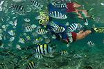 Snorkeler with abundant Sergeant Major damselfish, Abudefduf vaigiensis. Miniloc Island Resort house reef.