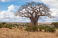 Tanzania. Tarangire National Park.  Baobab Tree.