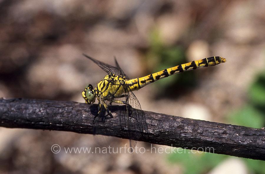 Kleine Zangenlibelle, Zangen-Libelle, Weibchen, Onychogomphus forcipatus, Small Pincertail, female