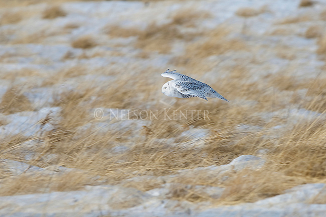 A snowy owl flying over a grassy field in winter in Montana