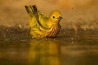 Yellow warbler bathing, Hidalgo County, TX.