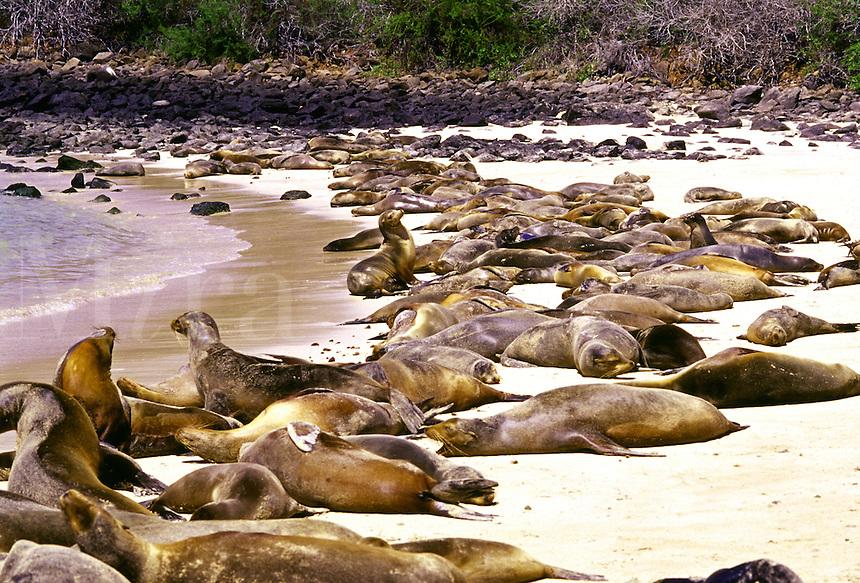 Galapagos sea lion colony