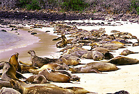 Galapagos sea lion colony