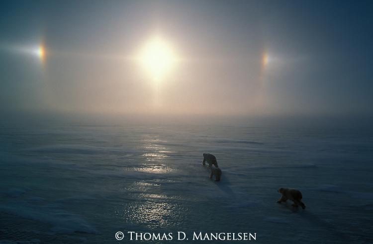 Polar bears travel across the ice as sundogs shine in the sky above them.<br /> Canada