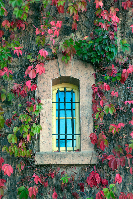 Windows with fall colored ivy at Talbert Winery. Napa Valley, California