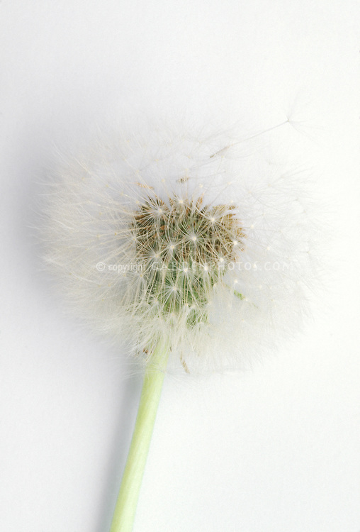 Dandelion seed head fluffy Tanacetum officinale on white background
