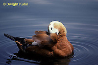 DG07-010z  Ruddy Shelduck - preening feathers - Tadorna ferruginea