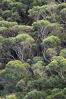 Eucalyptus forest in Southwest Australia