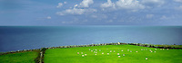 Sheep in pasture with ocean. Galway Bay, Black Head, The Burren, Ireland