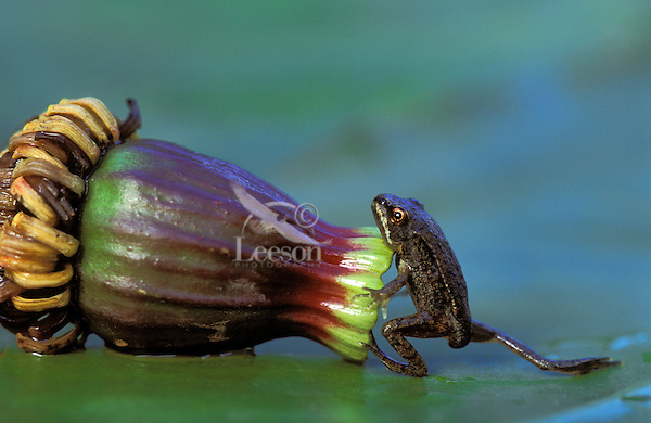 Wood Frog froglet on lily pad..Summer. Nova Scotia..Rana sylvatica.