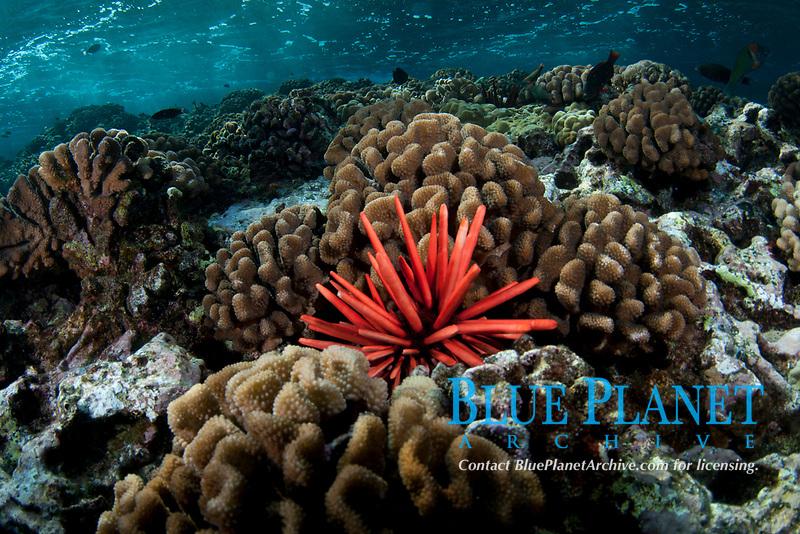 Red pencil sea urchin, Heterocentrotus mammillatus, Molokini crater, Maui, Hawaii