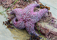 A fine art nature detail of a purple sea star at minus tide, still wet from recent surf yet exposed due to the low tide.  The sand is a pale gold, contrasting well with the purple creature.