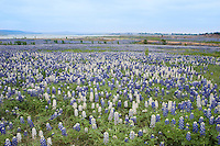 White bluebonnets in a field of blue, Shaw Island, Texas