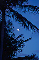 The coconut palm tree silhouette frames the blue dawn moon eastern sky near Kumukahi on the island of Hawai'i.