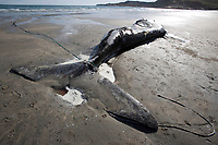 Dead calf of southern right whale, Eubalaena australis, Conservation Dependant (IUCN), UNESCO Natural World Heritage Site, Puerto Piramides, Golfo Nuevo, Peninsula Valdes, Chubut, Patagonia, Argentina, Atlantic Ocean