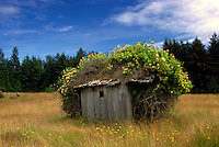 Queen Charlotte Islands (Haida Gwaii), Northern BC, British Columbia, Canada - Old Cabin covered with Bushes on Graham Island