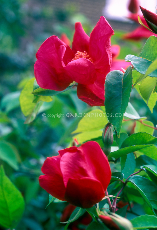 Rosa chinensis, Chinese plant species roses, the China Rose, pinyin, yueji, closeup of flowers