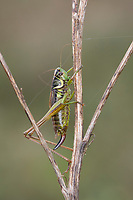 Roesels Beißschrecke, Rösels Beißschrecke, Roesels Beissschrecke, Weibchen, Roeseliana roeselii, Metrioptera roeselii, Roesel's bush cricket, Roesel's bush-cricket, female, La decticelle bariolée