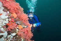 Scuba Diver, Kelp Greenling (Hexagrammos decagrammus), Pink Soft Coral and anemones in Browning Pass off northern Vancouver Island, British Columbia, Canada.