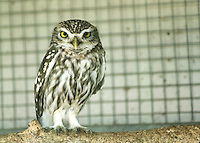 Little Owl in the zoo at Paphos, Cyprus.
