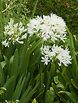 WHITE LILY OF THE NILE, AGAPANTHUS AFRICANUS