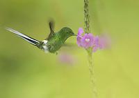 Male green thorntail, Popelairia conversii. San Jorge Eco-Lodge, Milpe, Ecuador
