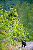 Black Bear, Cordova, Chugach National Forest, Alaska.