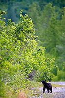Black Bear, Cordova, Chugach National Forest, Alaska.