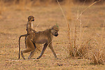 Chacma baboons, South Luangwa National Park, Zambia