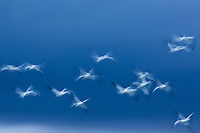 Motion blur of Snow Geese on a storm front