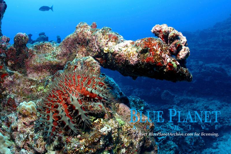 crown-of-thorns sea star or starfish, Acanthaster planci, Nihoa, Papahanaumokuakea Marine National Monument, Northwestern Hawaiian Islands, Hawaii, USA, Pacific Ocean